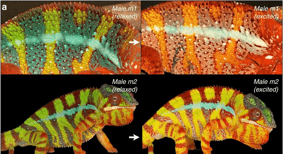 camaleon pantera cambiando de color
