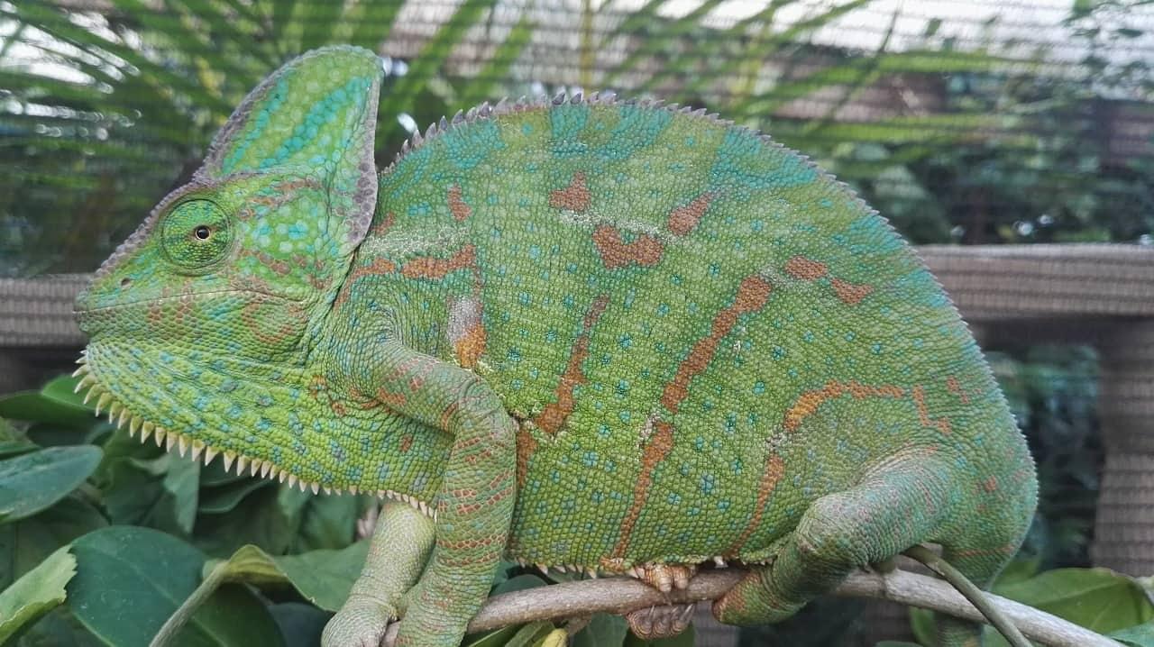 terrario para camaleon