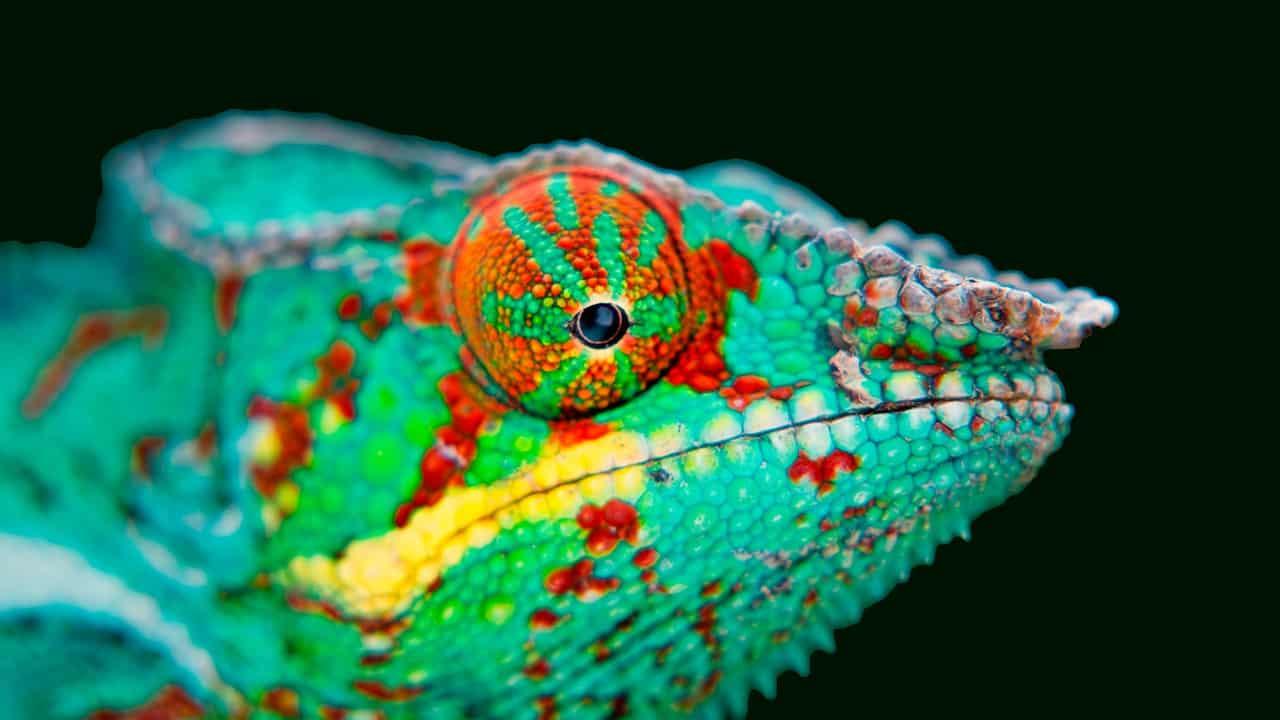 camaleón leopardo