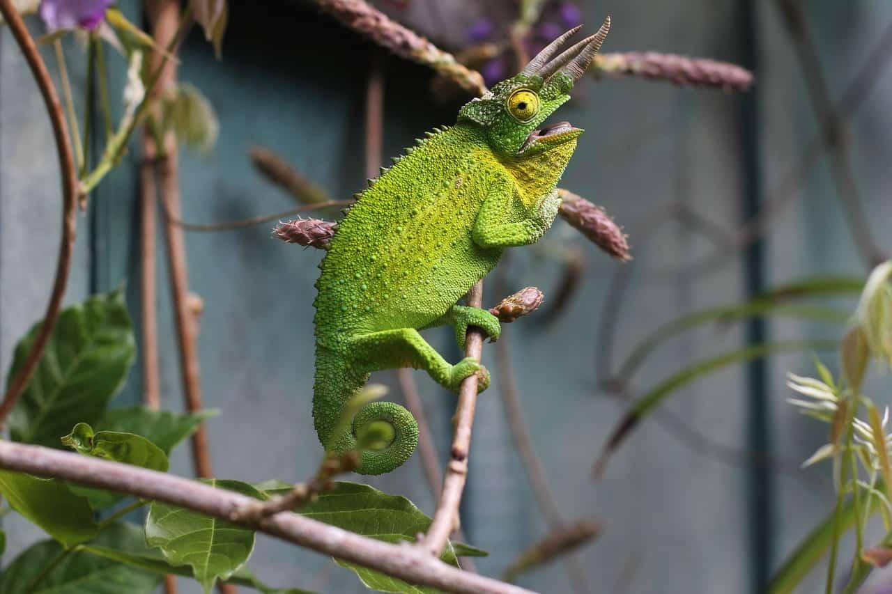 Trioceros jacksonii, camaleón con 3 cuernos
