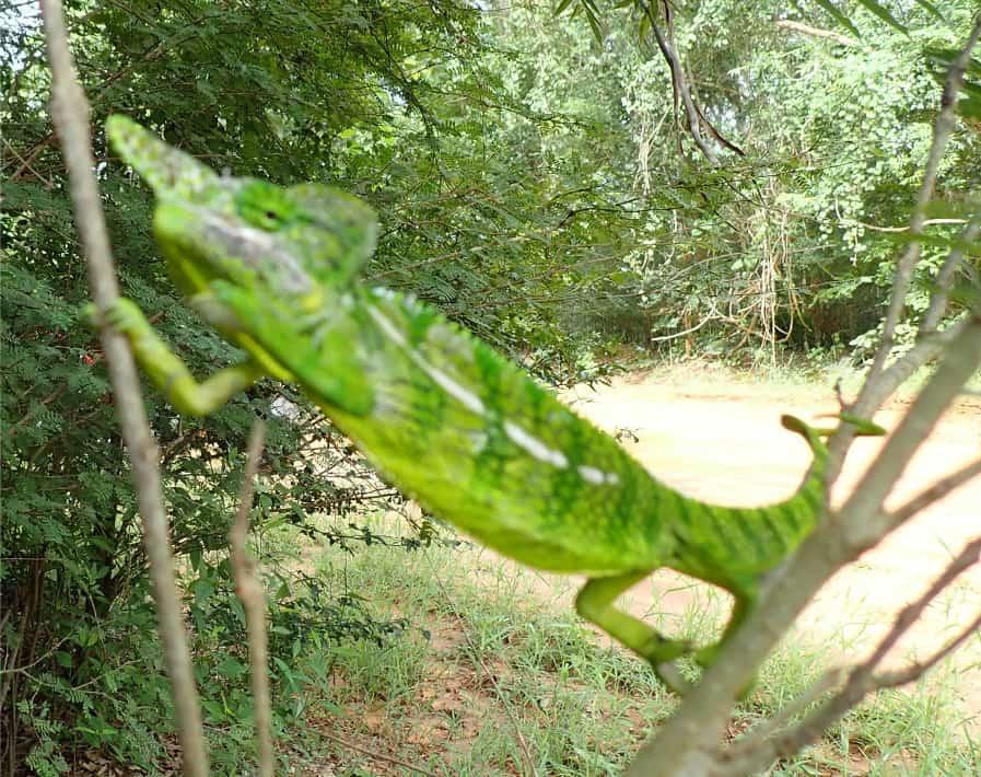 Camaleón de Labord (Furcifer labordi)