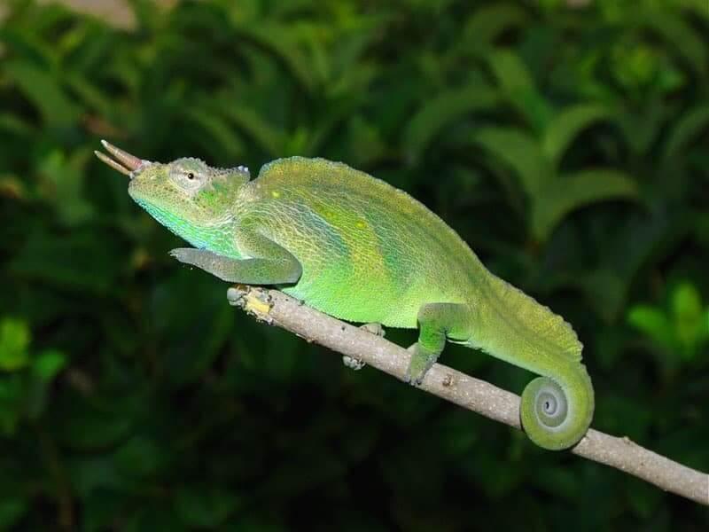 Trioceros montium, el camaleón de dos cuernos
