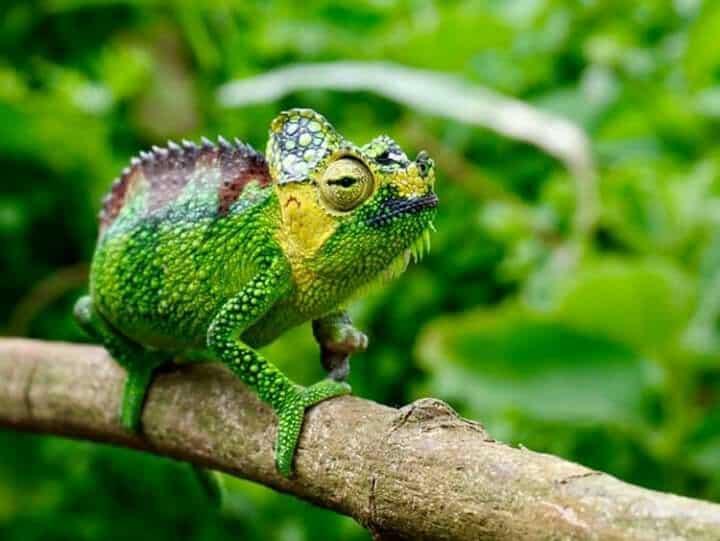 Camaleón de casco