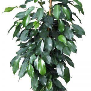 Ficus para terrario