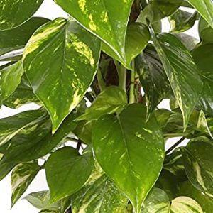 comprar planta natural para terrario