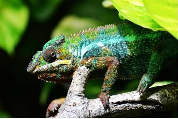camaleones bradypodion