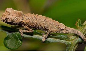 camaleon brookesia brygooi