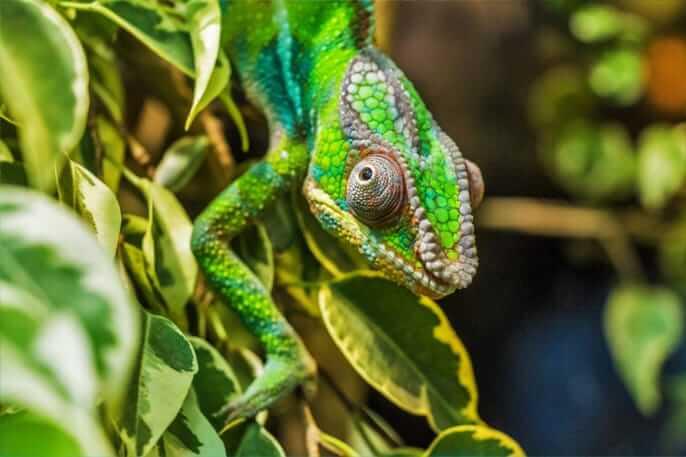 camaleon pantera verde