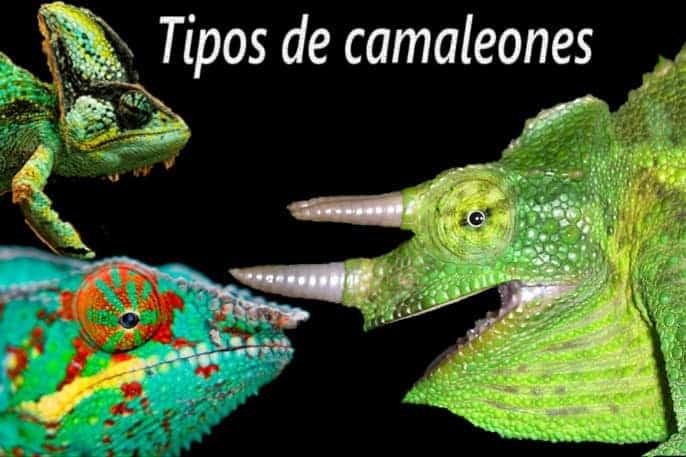 tipos de camaleones
